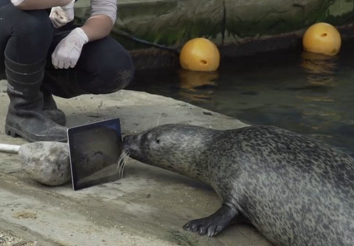 Seals Use FaceTime  To Maintain Long Distance Relationship UNILAD seal334058