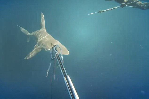 Spearfisher Forced To Shoot Shark Off Coast Of Queensland UNILAD spearfish3