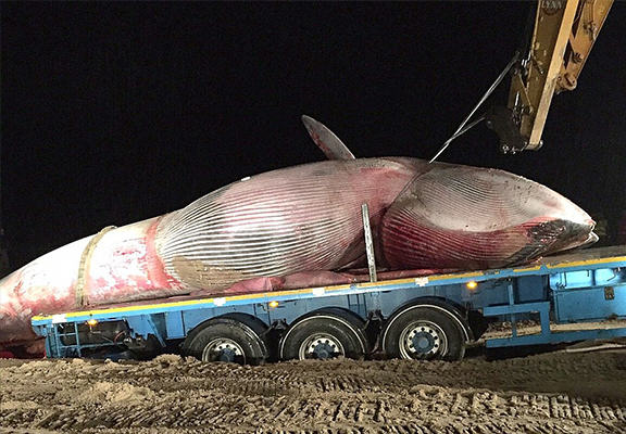 It Took Six Hours To Move This Massive Whale Washed Up On A Beach In Northern Ireland UNILAD whale beached WEB 36