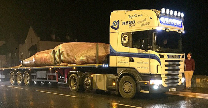 It Took Six Hours To Move This Massive Whale Washed Up On A Beach In Northern Ireland UNILAD whale beached WEB 58