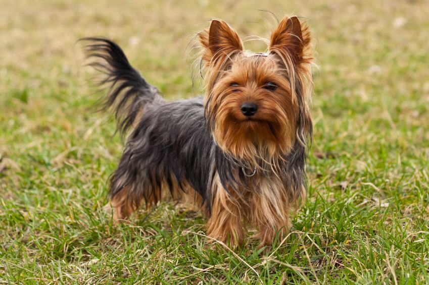 Tiny Yorkshire Terrier Drove Owners Truck Into Lake UNILAD yt4