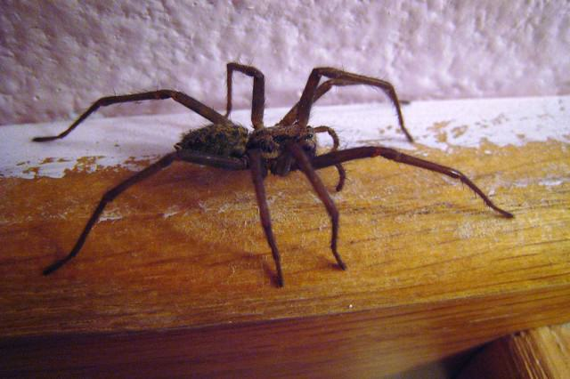 Police Called To Domestic Incident, Found Guy Alone Going Nuts Over What? 1024px House spider side view 01 640x426