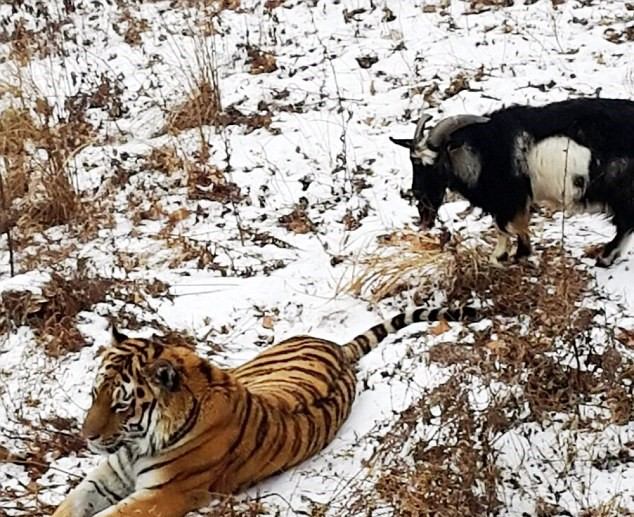 Goat Put In Tiger Enclosure As Lunch, Steals Tigers Bed And Becomes Boss 22