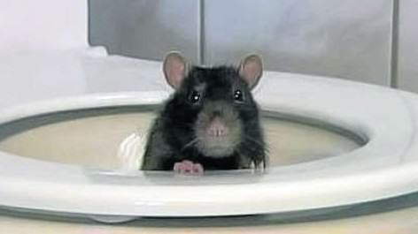 Grim Video Shows How Easily Rats Can Swim Up Into Your Toilet 4618022917