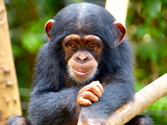 The U.S Government Is Retiring All Research Chimpanzees Elainie Madsen