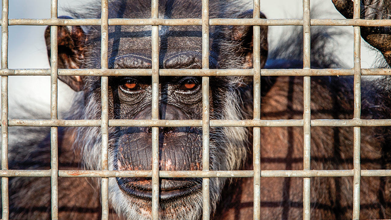 The U.S Government Is Retiring All Research Chimpanzees MELANIE STETSON FREEMANAP IMAGES