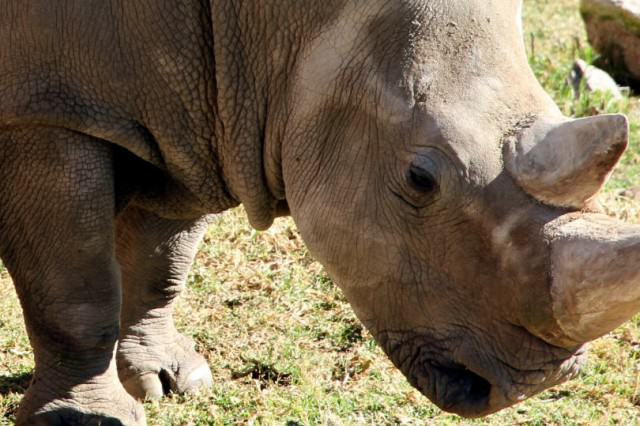 One Of The Last Northern White Rhinos In The World Has Died RHINO3 640x426