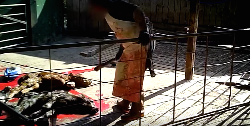 Shocking Undercover Footage Exposes Horrific Dairy Cow Cruelty Screen Shot 2015 11 30 at 11.32.19