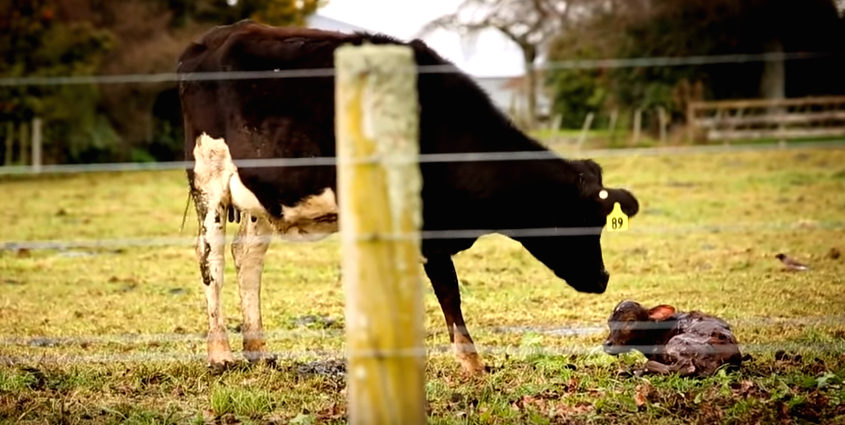 Shocking Undercover Footage Exposes Horrific Dairy Cow Cruelty Screen Shot 2015 11 30 at 11.59.52
