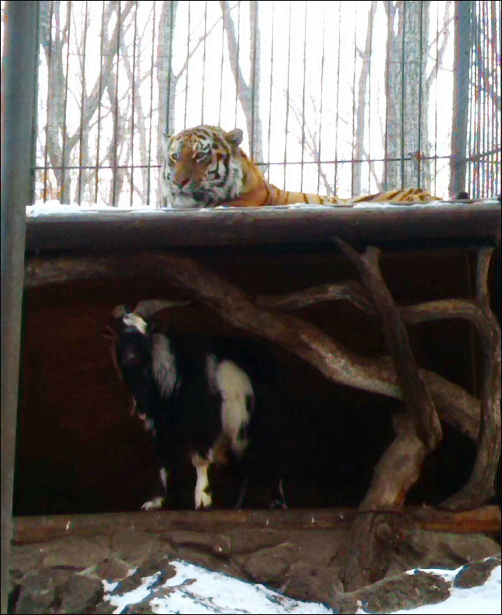 Goat Put In Tiger Enclosure As Lunch, Steals Tigers Bed And Becomes Boss Siberian Times
