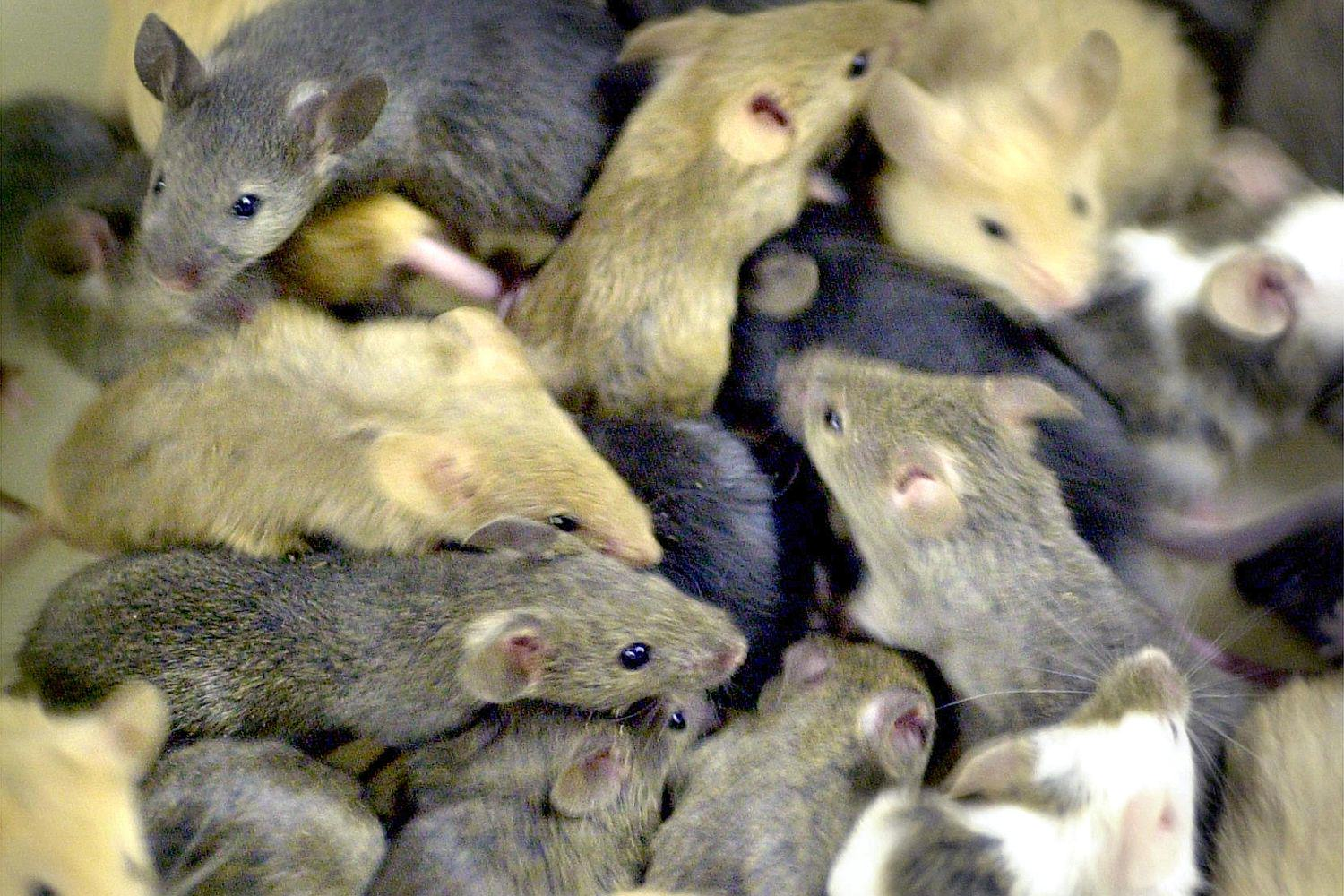 Forget Giant Mutant Rats, Plague Of Super Smart Mice To Hit UK UNILAD 03 03131052 e5a580 2548072a31624