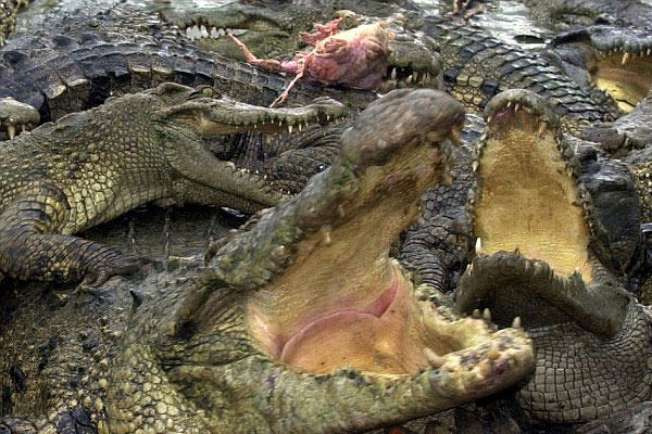 Ferocious Crocodiles Could Soon Be Replacing Guards At This Prison UNILAD Crocodiles69368