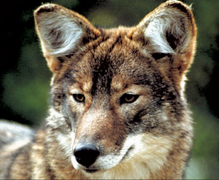 Meet The Coywolf, A Coyote Wolf Hybrid Whose Population Is Rapidly Soaring UNILAD Jonathan Way9588