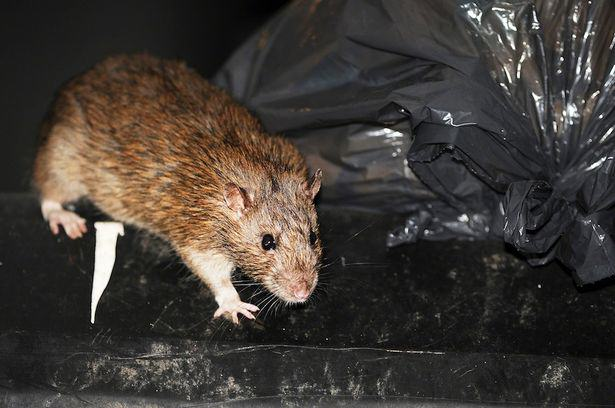 Forget Giant Mutant Rats, Plague Of Super Smart Mice To Hit UK UNILAD Rat in rubbish48944