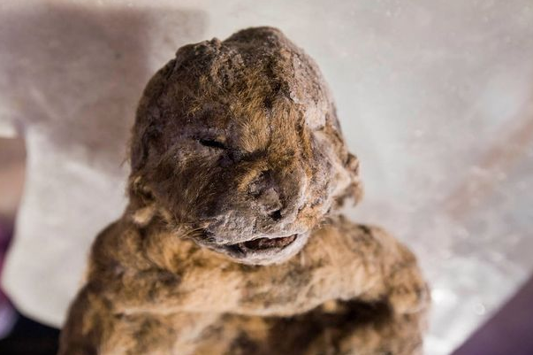 12,000 Year Old Cave Lion Cubs Found In Siberia Almost Perfectly Preserved By Ice UNILAD Screen Shot 2015 11 17 at 15.31.0230324