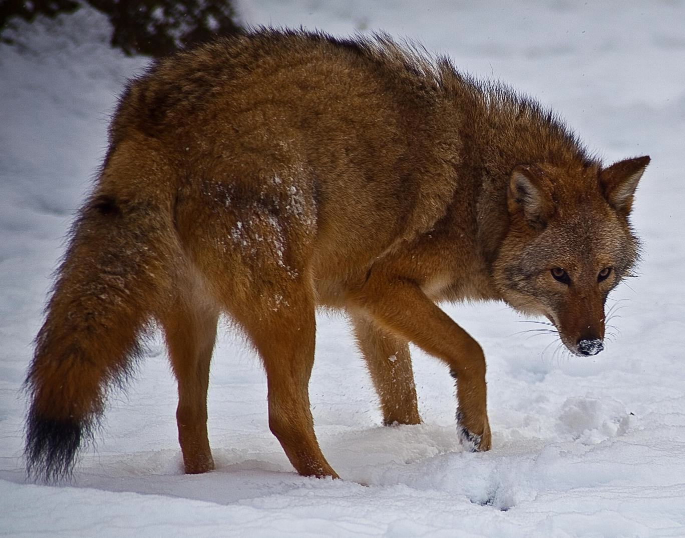 Meet The Coywolf, A Coyote Wolf Hybrid Whose Population Is Rapidly Soaring UNILAD Wikimedia54481