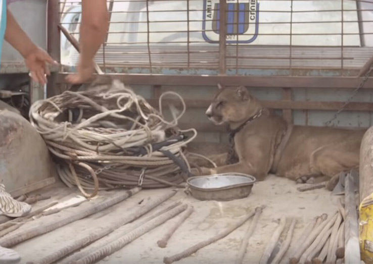 Social Media Outcry Prompts Mufasa The Mountain Lion Being Returned To Forest UNILAD lion94674