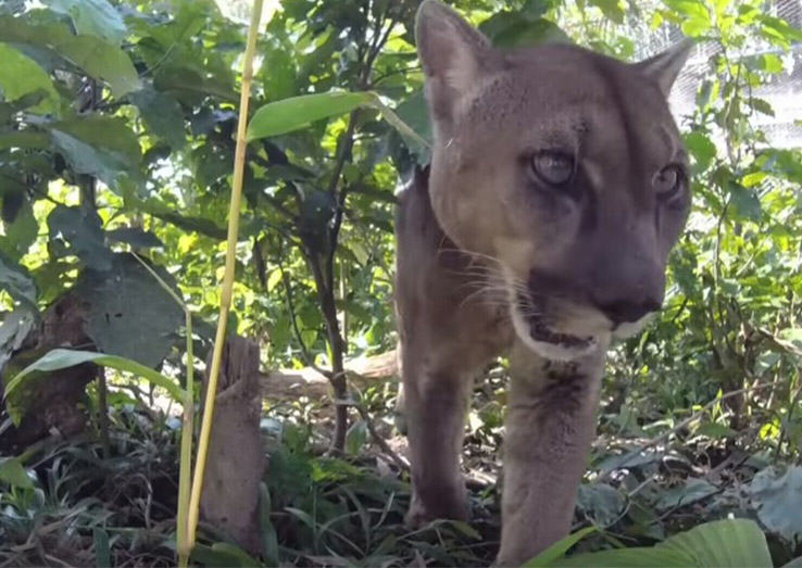Social Media Outcry Prompts Mufasa The Mountain Lion Being Returned To Forest UNILAD lionforest29550