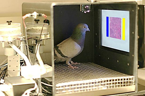 Pigeons Can Now Spot Breast Cancer As Accurately As Human Experts, Apparently UNILAD pigeon doctors 163976