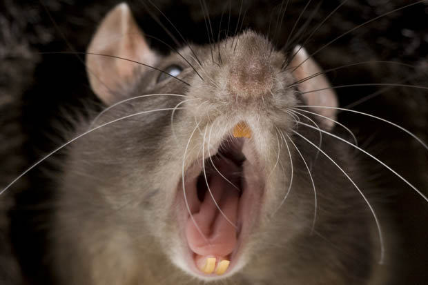 Giant Mutant Rats Immune To Poison Could Invade UK Homes This Winter UNILAD rats 14352
