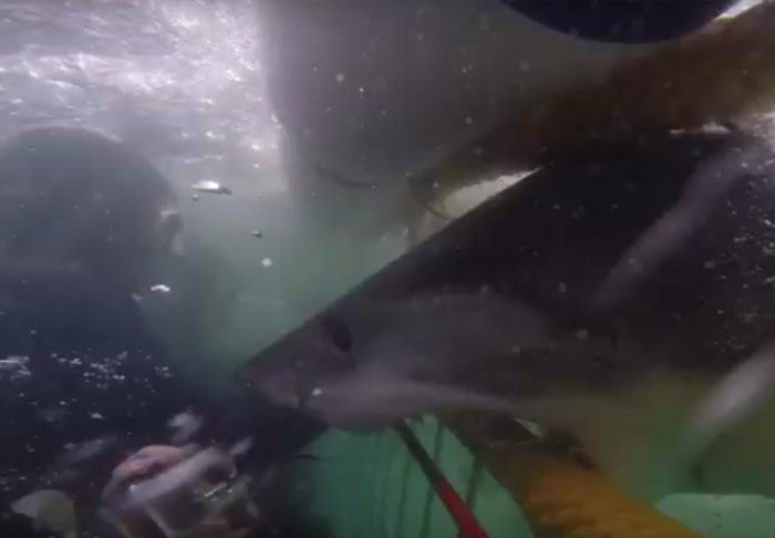 Divers Narrowly Avoid Great White Shark That Smashes Into Their Cage UNILAD shark26929