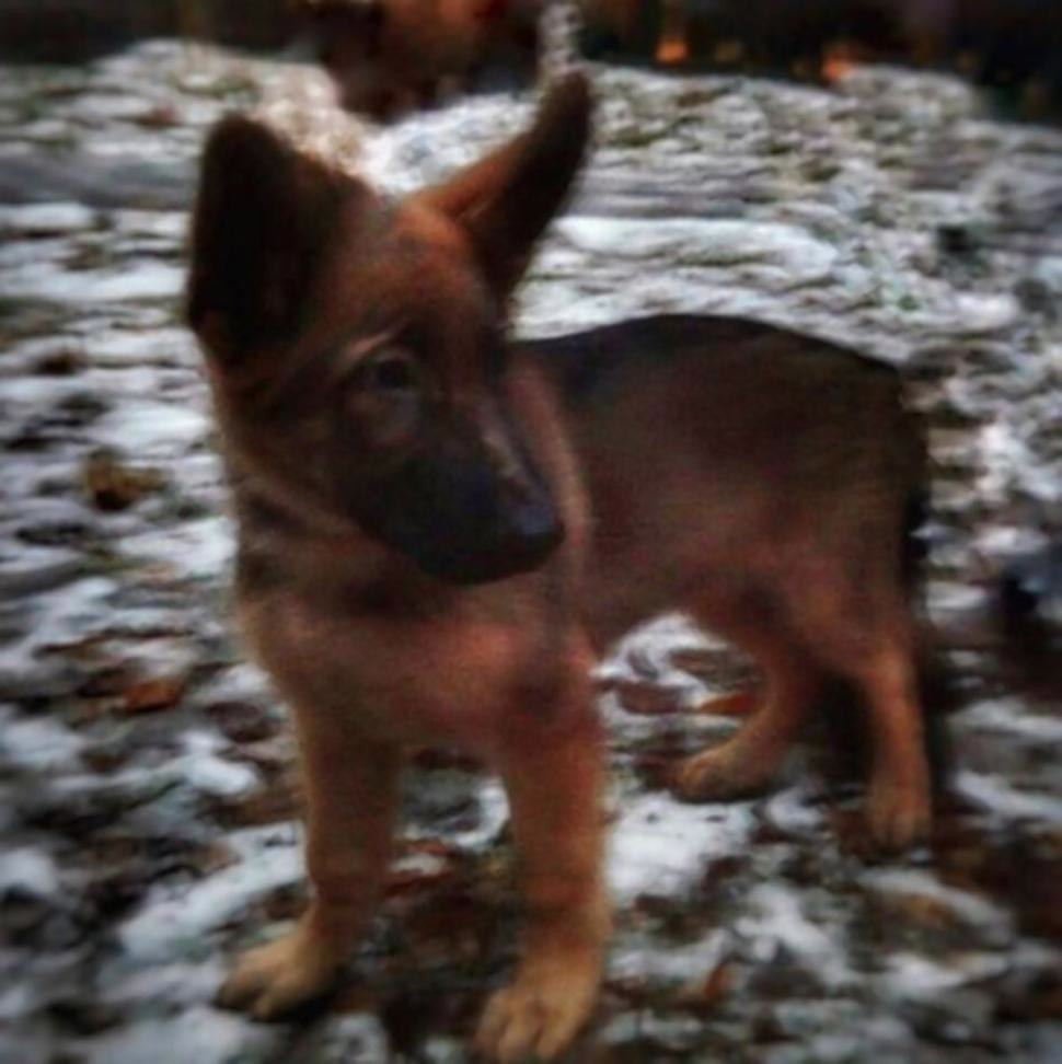 Russia Donate Puppy To Take Place Of French Hero Dog diesel21n 4 web