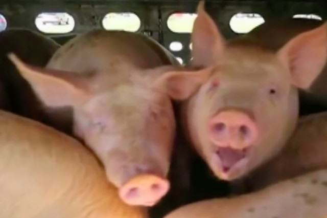 This Woman Faces 10 Years In Jail For Giving Water To Thirsty Pigs pigs3 640x426