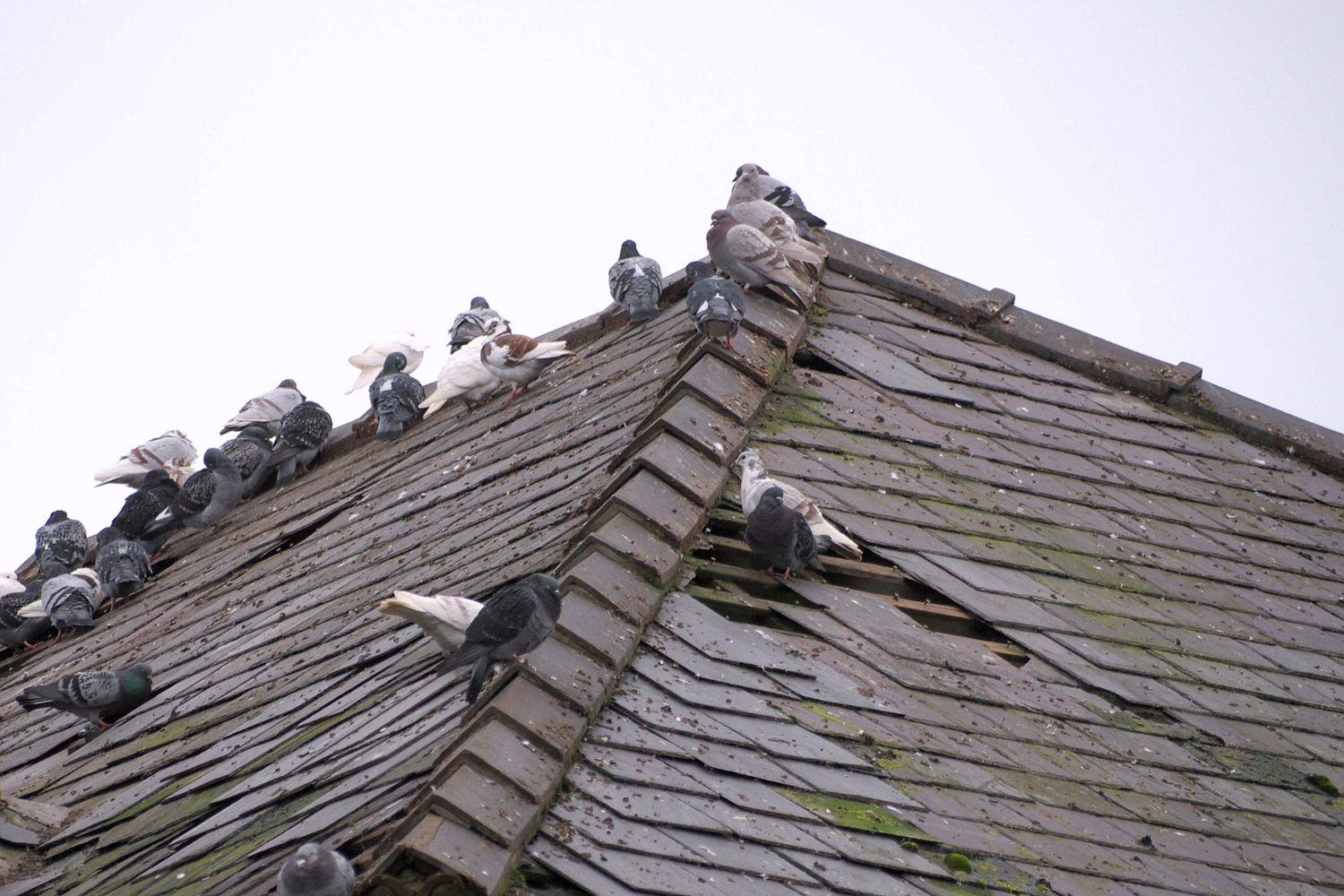 Cannabis Farm Discovered After Pigeons Take A Liking To Warm Roof 01 13231107 f2c56f 2602597a