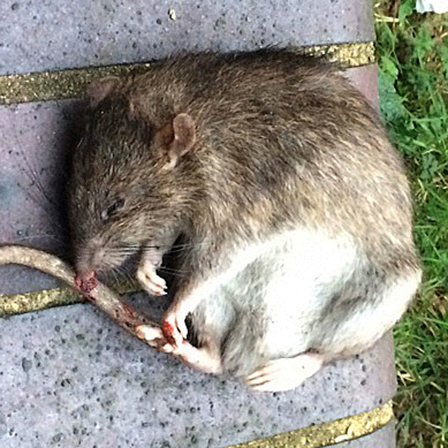 This Rat Attack Has Got Me Not Wanting To Ever Go To Bed Again 04 21030158 dccd0b 2612445a