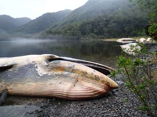 Over 330 Whales Wash Up On Shore In One Of Historys Largest Mass Strandings AP2