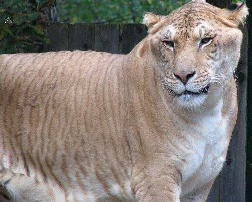 Some Crazy Animal Hybrids That Actually Exist Liger.jpg.638x0 q80 crop smart