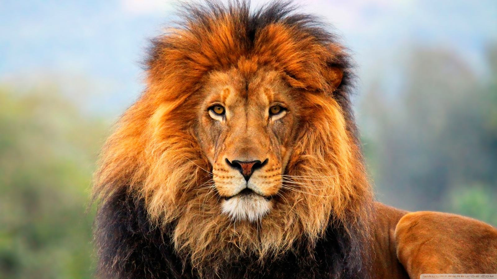 Two Sub Species Of Lion Have Been Added To The Endangered Species List Lion