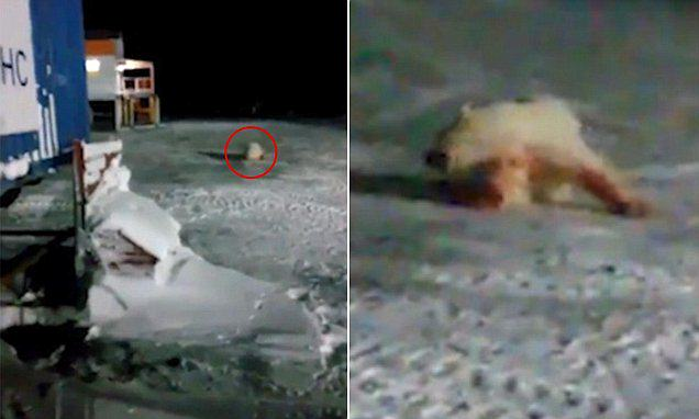 Russian Polar Bear Left In Agony After Being Fed Explosives bear