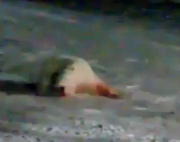 Russian Polar Bear Left In Agony After Being Fed Explosives bear1