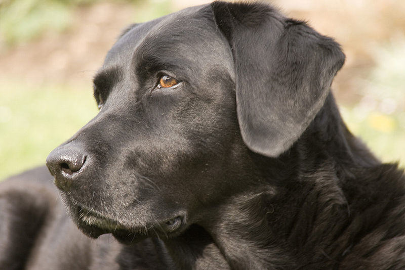 Hero Dog Saves Woman From Would Be Sex Attacker blacklab1