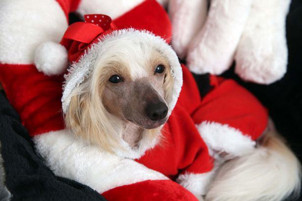 This Dog Is About To Have A Better Christmas Than You dog 5k1