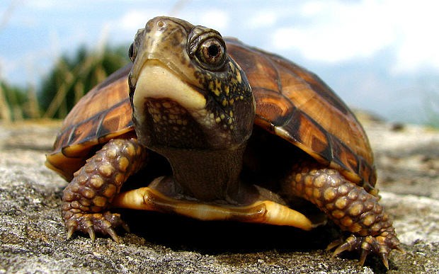 Heres Why A Guy Smuggled 51 Turtles In His Trousers eastern box turtle 3053469b