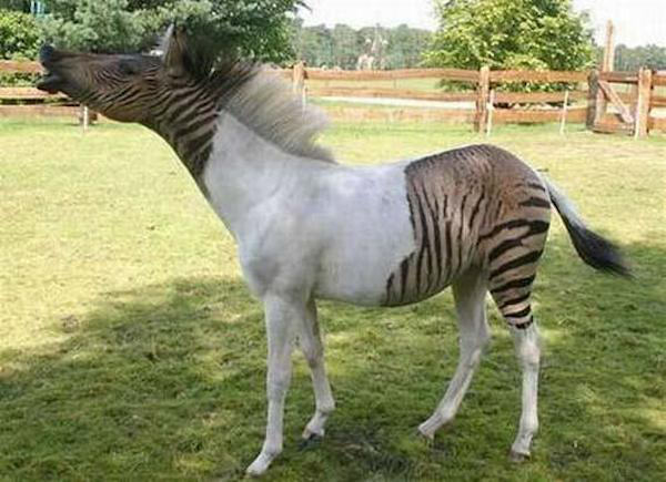 Some Crazy Animal Hybrids That Actually Exist le2fk1u