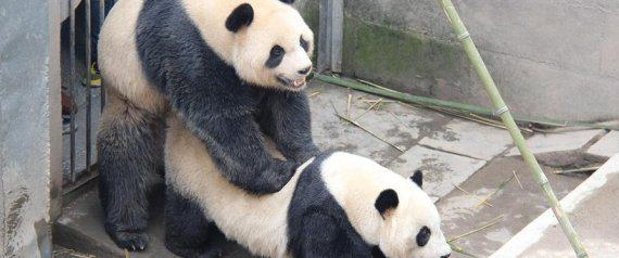 Seven Times Animals Did Amazing Things In 2015 n PANDA SEX large570