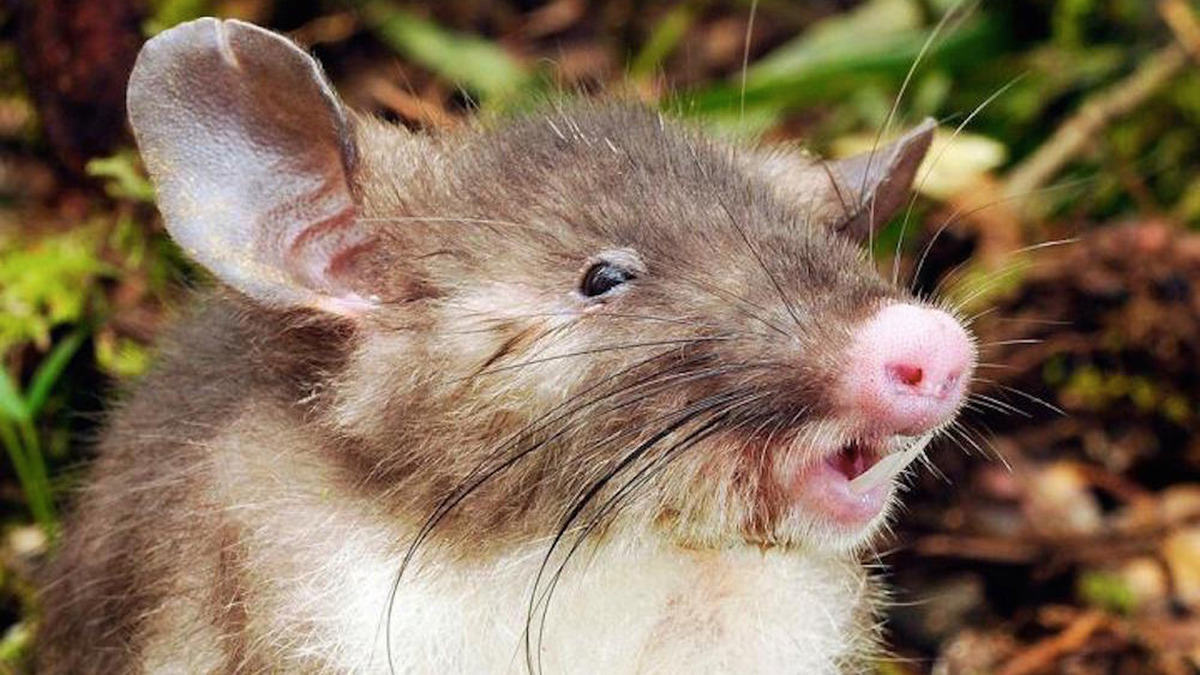 These Weird Animals Were All Discovered This Year pig rat