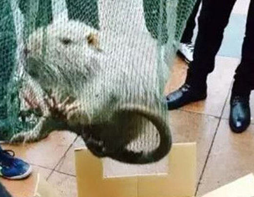 Giant Metre Long Rat Found Scurrying Around University Corridors rat31