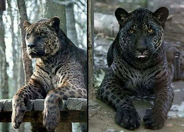 Some Crazy Animal Hybrids That Actually Exist snfjenc