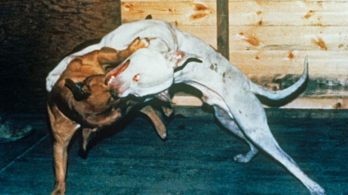 The Extent Of Horrific Illegal Dog Fighting In The UK Revealed stream img