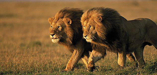 Two Sub Species Of Lion Have Been Added To The Endangered Species List two male lions Kenya 631.jpg  800x600 q85 crop