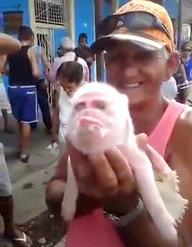 This Bizarre Monkey Pig Is Baffling Locals In Cuba 300621D700000578 0 image a 27 1452507590073