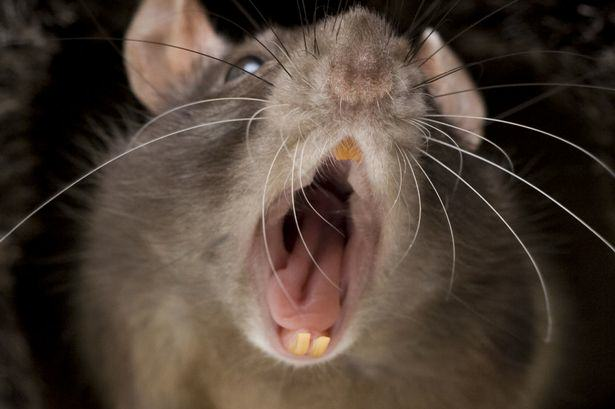Disgusting Story Of Man Who Accidentally Shared His Crisps With A Rat Rat