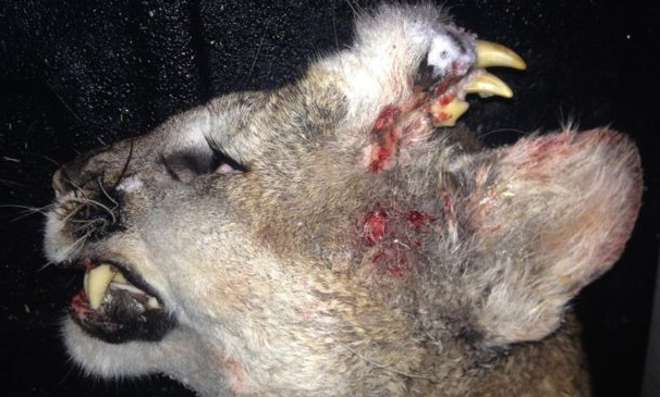 Dead Mountain Lions Deformity Leaves Officials Baffled Screen Shot 2016 01 10 at 18.51.17