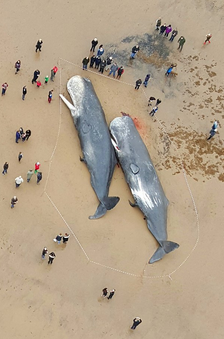 Coastguard Fears More Whale Beachings After Three Die In Skegness Screen Shot 2016 01 24 at 16.23.21