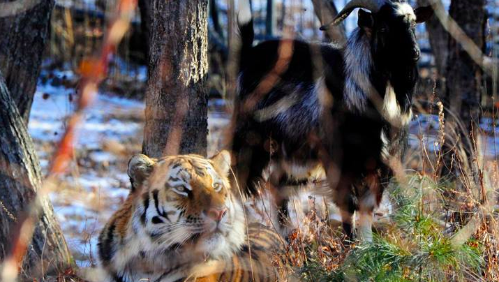This Russian Lawyer Thinks The Tiger Goat Friendship Is Gay Propaganda Screen Shot 2016 01 30 at 10.26.50