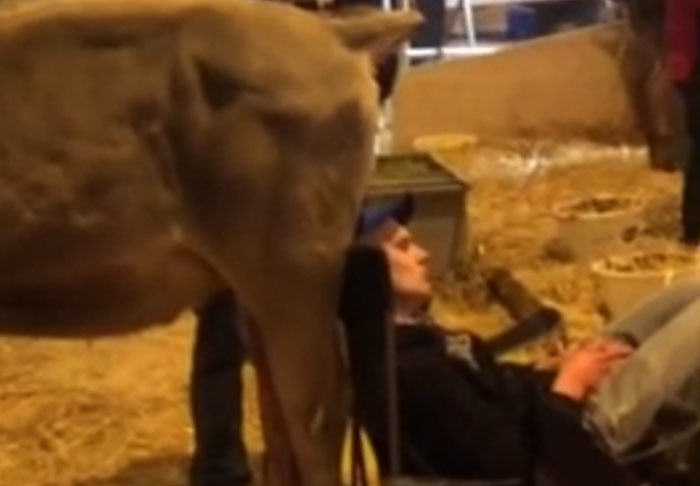 Guy Falls Asleep At Dairy Farm, Colleagues Pull Off Disgusting Prank cow3
